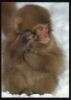 CPM Neuve Faune Animaux SINGES  Bien Longue à Faire Les Courses Ma Mère ( Support Léger ) - Apen