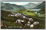 Animals - Sheep - Mountian, Moor And Loch - Postcard 1904 - Unclassified