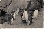 CPSM  -     Jardin Zoologique  -  ANVERS   -   Corfous Dorés - - Animaux & Faune