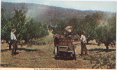 Australie, Australia, The Victorian Orchardist, Spraying, Apples, Verger, Pommes, Traitement Des Arbres, Pommiers - Australia