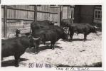 TOROS DE LA CORTE 1934 (CARTE PHOTO) - Stiere