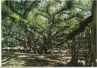 CPM Banyan Tree, Arbre Le Plus étendu Du Monde, Lahaina, île De Maui, Hawaii / A Lot Of Roots Which Form Trunks - Maui