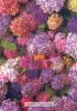 Original Anne Geddes Postcard, Postkarte, Carte Postale, New, Babies, Little Child, Flower, Guelder-Rose - Children