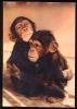 CPM Faune Animaux Singes  Maman Chimpanzé Et Son Petit - Apen
