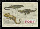 Poster Stamp - Belgian Matchbox Label - Chromos Fort  -  Fire Salamander, Feuersalamander, Lizard, Eidechse - Matchbox Labels