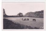 18752 Tregastel Primel . Paturages . 113 CAP . Vache Bretonne - Trégastel