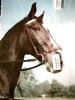 CAVALLO  HORSE Testa V1966 DM2449 - Pferde