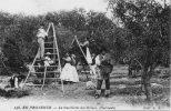 AGRICULTURE CUEILLETTE DES OLIVES EN PROVENCE - Cultures