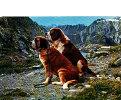 Chien. Dog. Chiens Du St. Bernard. 1977 - Chiens