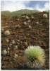 CPM Plante Hawaii, Maui / Volcan, Haleakala Crater, National Park USA / Flowering Bunch Grasses, Cinder Fields / Impact - Maui