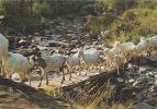 Carte Postale France Cévennes - Animaux - CHEVRE - GOAT Animals Postcard - ZIEGE Tiere Postkarte - 07 - Sonstige