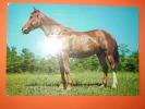 Cavallo Viaggiata - Caballos