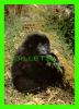 GORILLE JEUNE FEMELLE MONTAGNARD, AGÉE DE 3 1/2 ANS ROUANDA AFRIQUE CENTRALE - - Singes
