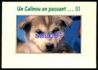 Chien Husky -  Chiot - Un Calinou En Passant ...!!!   Réf : 22014 - Chiens