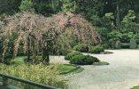 Etats-Unis-OR-Oregon-PORT LAND-The  Japanese Garden -Weeping Japanese Flowering Cherry (Prunus Subbirtella) *PRIX FIXE - Portland