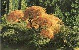 "Etats-Unis-OR-Oregon-PORT LAND-PORTLAND The  Japanese Garden ""lace Leaf Maple ( Acer Palmatum Dissectum) In Fall Color * - Portland"