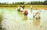 Rice Planters - Filippijnen