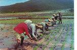 Rice Planting Scene - Filippijnen