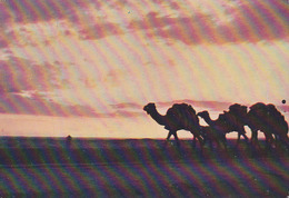 Carte Postale CP Tunisie - ANIMAL CHAMEAU DROMADAIRE - CAMEL & Sunset Post Card - KAMEL Postkarte AK - 20 - Tierwelt & Fauna
