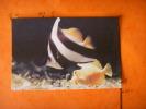 14-43) Trouville :  Aquarium  : Henioshus Acuminatus , Zebrazoma Flavescens - Trouville