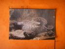 14-44) Trouville :  Aquarium  : Murene : Muraena Helena - Trouville