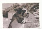 Chien. Dog. Valais. Saint Bernard Et Tonnelet. Photo Edition Darbellay - Chiens