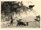 Chèvres Dans Un Arganier - Non Classificati