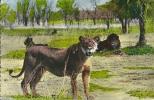 Lions Et Lionnes Dans La Brousse. - Lions