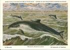 PHOCAENA  PHOCAENA  (Linné). - Dolphins