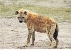 Hyene - Animaux & Faune