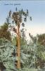 Etr - BERMUDA - Papaw Tree - Bermudes