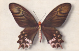 19576 Papilio Semperi - Papillon - Comité Enfance  Paris N° 4