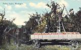 Picking Apples, Washington, 1900-1910s - Estados Unidos