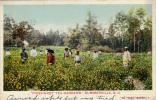 """""""Pinehurst Tea Gardens"""", Summerville,South Carolina,PU-1906 - Summerville"""