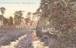A Tea Field, The Tea Farm,Summerville,South Carolina,00-10s - Summerville