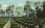 Pinehurst Tea Farm Field Of Tea After Pruning,Summerville,South Carolina,00-10s - Summerville
