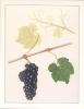 Carte Double Neuve / Nieuwe Dubbele Kaart : ## PINOT NOIR ## : DRUIF,RAISIN,GRAPE,WIJN,VIN,WINE, - Vignes