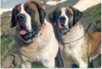 CPM De Saint Bernard (Chiens De L'Hospice Du Saint-Bernard - Hunde