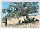 MAROCCO - Capre Su Un Albero - MAROC TYPIQUE - Chèvres Sur L'arganier. Spedita Da AGADIR. Viaggiata 2000 - Agadir