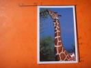 24) Parc Zoologique Cerza :hermival Les Vaux :lisieux : Girafe - Lisieux
