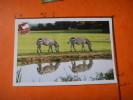 28) Parc Zoologique Cerza :hermival Les Vaux :lisieux : Zebres - Lisieux