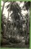 AFRIQUE. COMORE. MITSAMIOULI. COCOTIERS. - Comoros