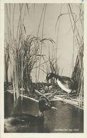 AK Vögel Horntaucher Reichsmuseum König Bonn ~1930/54 #48 - Uccelli