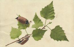 AK Maikäfer Knabbern An Blättern Farblitho 1906 #31 - Insetti