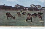 CPA Australie, Victoria, Stock Raising In Victoria, Mares And Foals, Chevaux, Pferd, Horse, Caballo, Cavallo, Paard - Australie