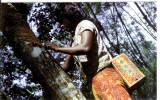 MALAISIE - Dans Une Plantation D'hévéa, Une Femme Extrait Du Caoutchouc - Malaysia