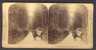Japan (~1900´s) Ladies Riding In A Jinrikisha - Bamboo Grove (Underwood - Strohmeyer & Wyman) - Stereoscoop