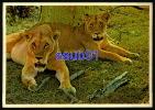 Lions - Lion -  South Africa  -  Réf : 23619 - Lions