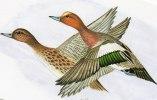 Illustrateur-d´après Gouache De Nicolas De Rainvilliers-Canards Siffleurs -NR 05 (3)(oiseau-oiseaux, Canard) - Autres Illustrateurs