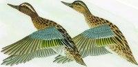 Illustrateur-d´après Gouache De Nicolas De Rainvilliers-Sarcelles D´été -NR 02 (2)(oiseau-oiseaux,sarcel Le,canard) - Autres Illustrateurs